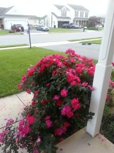 The roses in full bloom.
