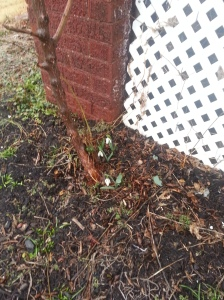 The flowers continue to push up through the ground and bloom... a harbinger of spring