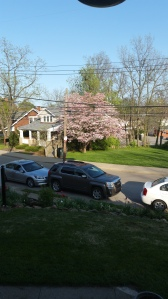 A lovely view from our porch of the pink dogwood in full bloom