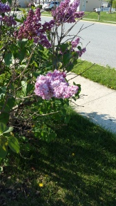 The lilacs are in bloom.  I love their fragrance.