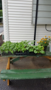 Tomato, pepper, and cucumber plants started from seed as part of the Grow Appalachia community garden at St. John's